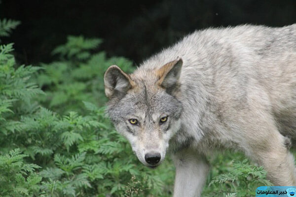تفسير رؤية الذئب في المنام للعزباء